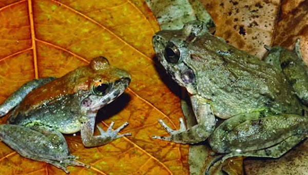 The male and female specimen of Fanged Frogs.