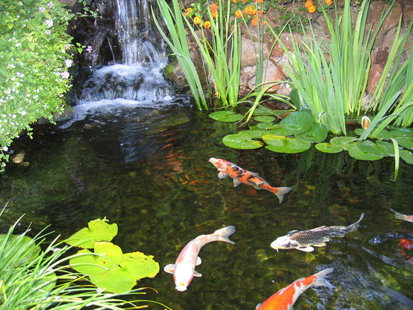 Shay 39 s word garden koi pond haiku for Koi ponds and gardens