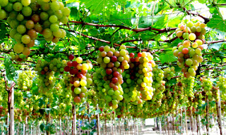 Picking grapes in Phan Rang city 1