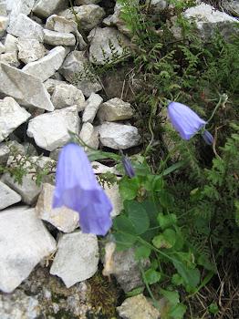 Campanula Cochleariifolia (Campanula dei ghiaioni)