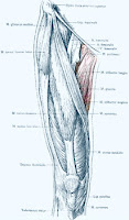 Image of anterior thigh showing the adductor muscles