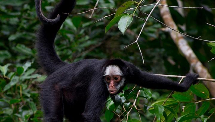 macaco aranha cara branca