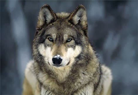 veterinary online: Wolf, all about wolves 2014 part 1 - veterinary ...