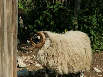 pecore black face
