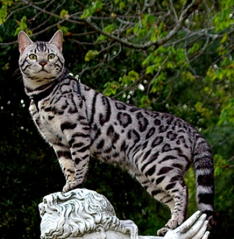 Domestic Bengal Cat Information wallpapers