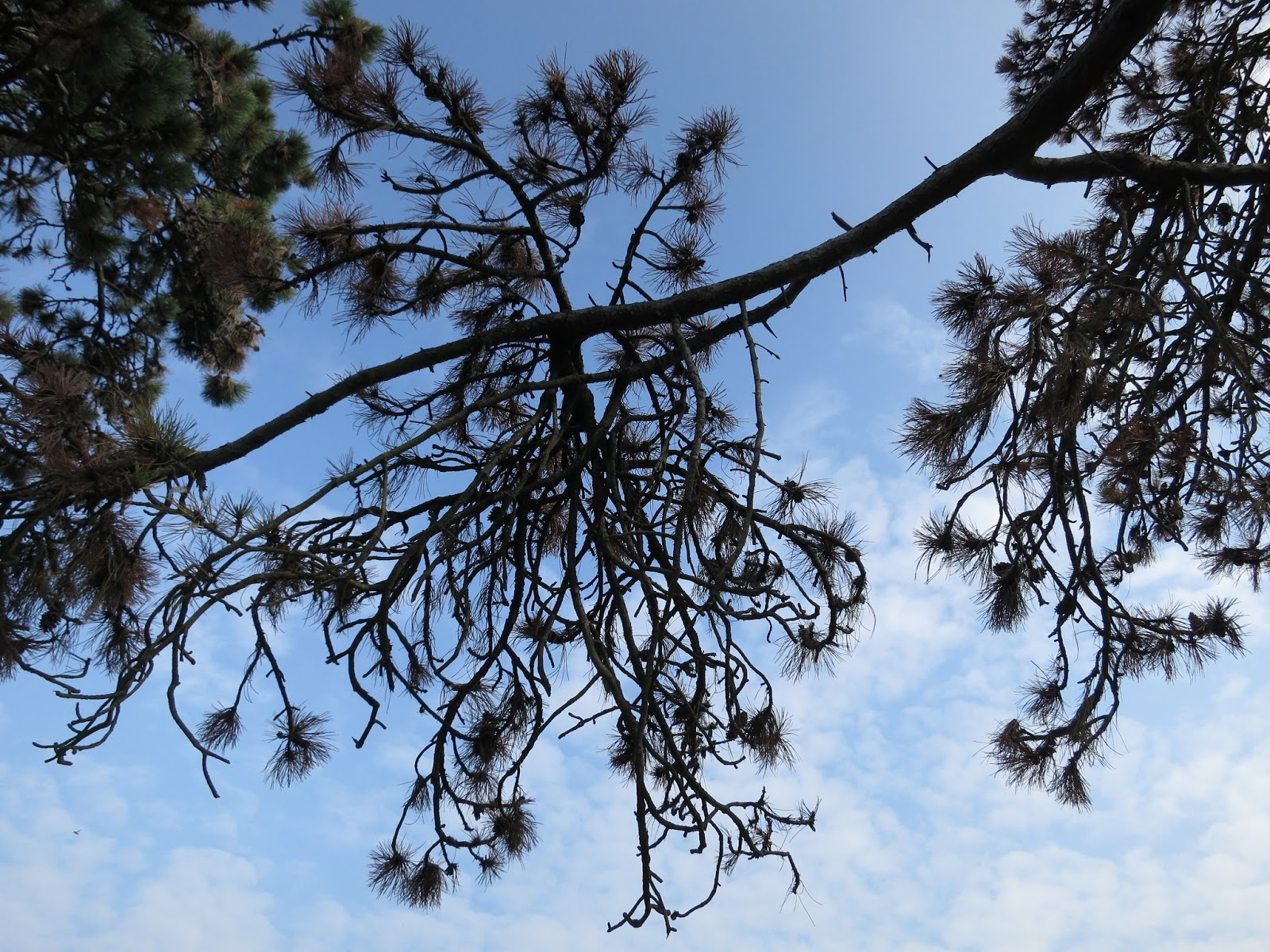 Looking up at branch of tree with long needles
