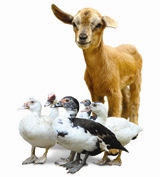 goat and ducks