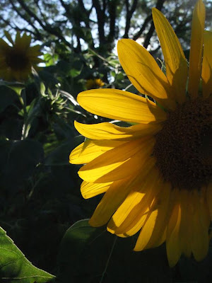 low light gardens, sunflowers, backyard garden