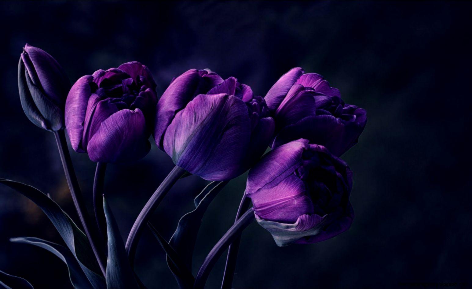 Dark Purple Tulips   wallpaper