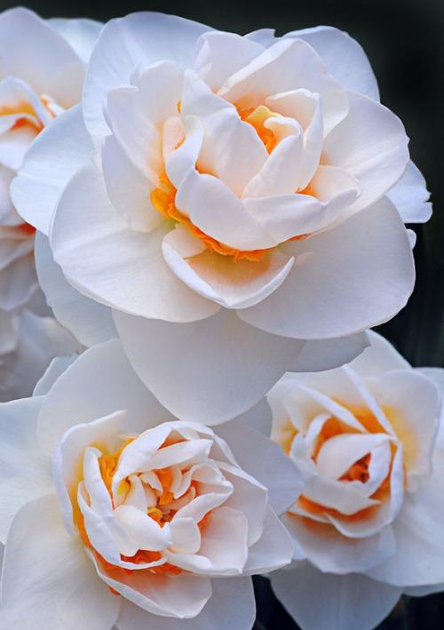 Daffodils. Pallette of impression