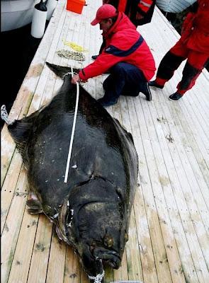 Wow! Gambar Ikan Bawal Gergasi Terbesar Dunia [ www.BlogApaAja.com ]