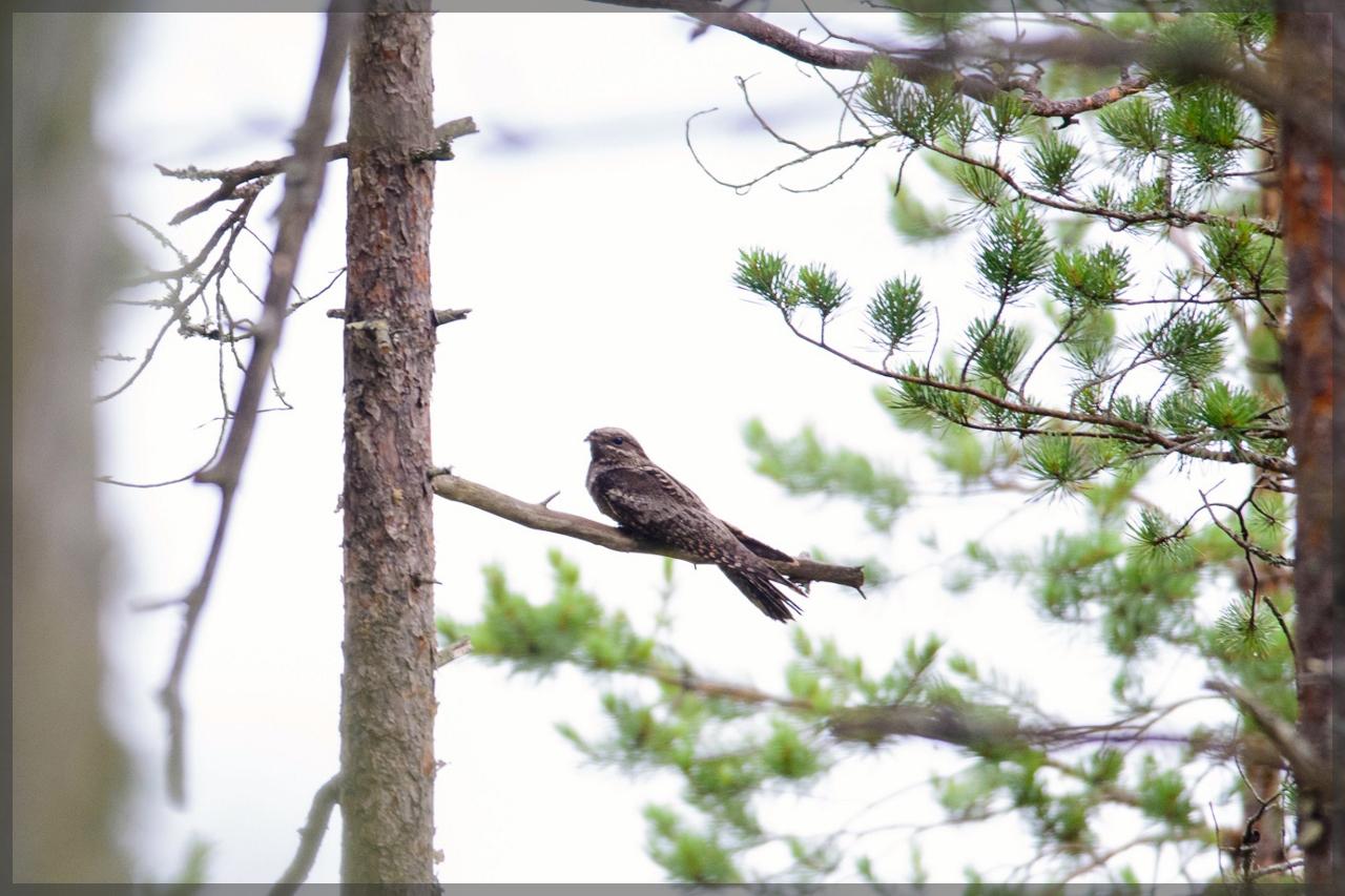 Öösorr - aasta lind