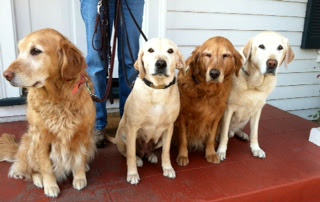 4 dogs: a Golden, a yellow Lab, a Golden and a yellow Lab