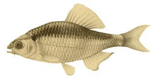 魚 ミヤコタナゴ イラスト