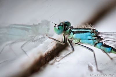 Enallagama cyantigerum, the common blue dragonfly