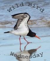 http://paying-ready-attention-gallery.blogspot.com/2013/12/wild-bird-wednesday-74-magpie-lark.html