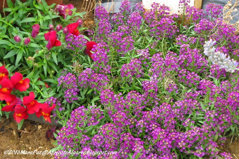 Alyssum and snapdragons