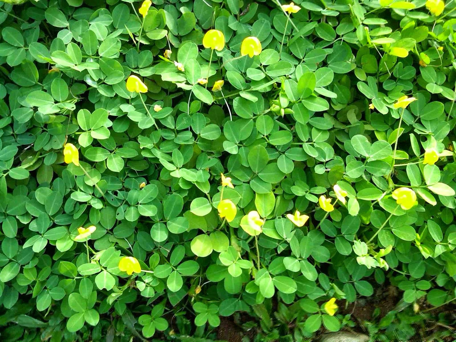 Jual pohon landep/kacang-kacangan | suplier tanaman | jasa tukang taman