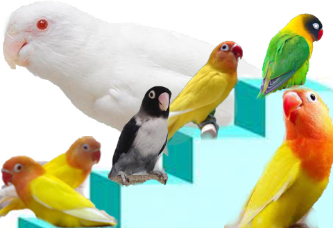 Jual Lovebird :: Bisnis Sampingan Menguntungkan