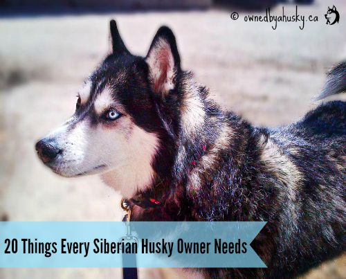 20 Things Every Siberian Husky Owner Needs - Part 1