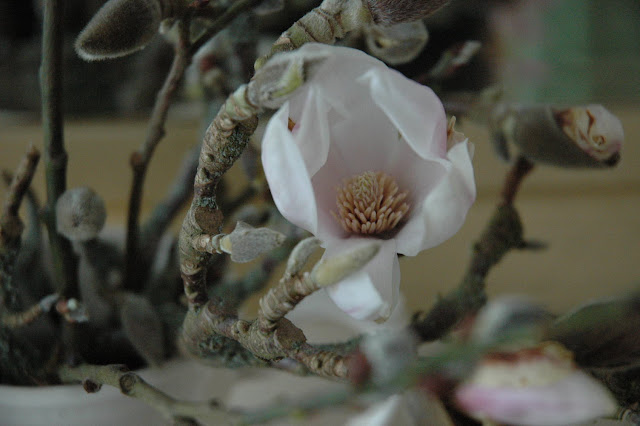 Close up of a creamy pink magnolia blossom with mossy branches in a cream coloured jug