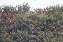 Scarlet Ibis, Trinidad