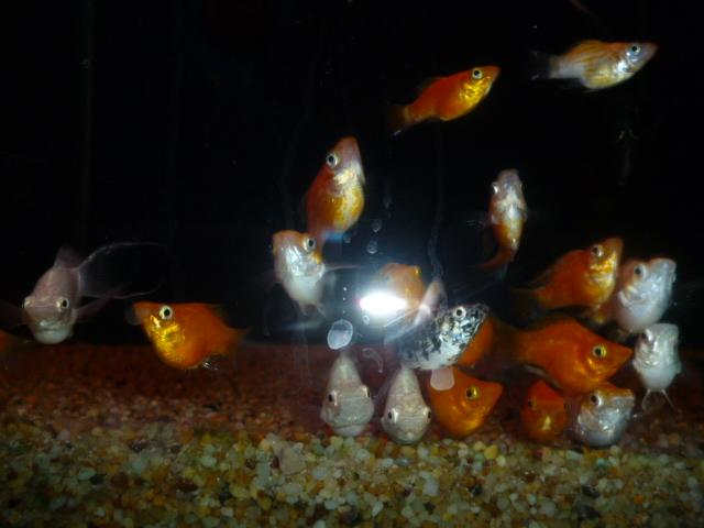Balloon Mollies For Sale5
