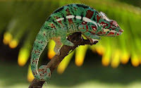 Macro Chameleon Picture and Photo 16