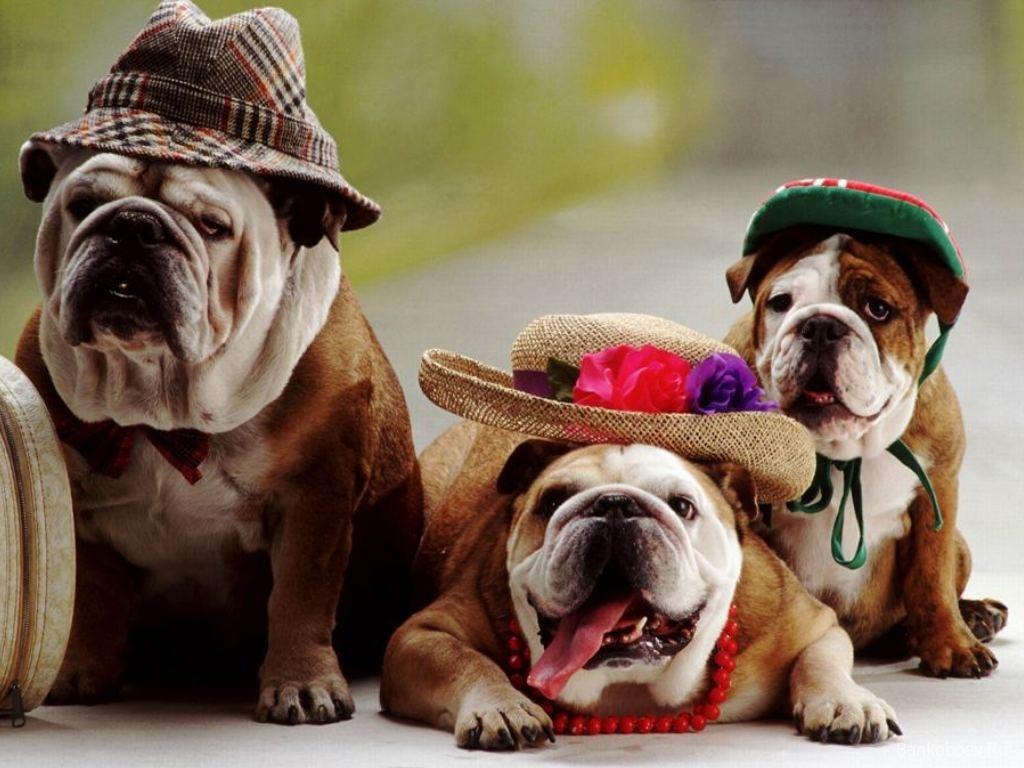 Cachorro bulldog inglés wallpaper - Imagui