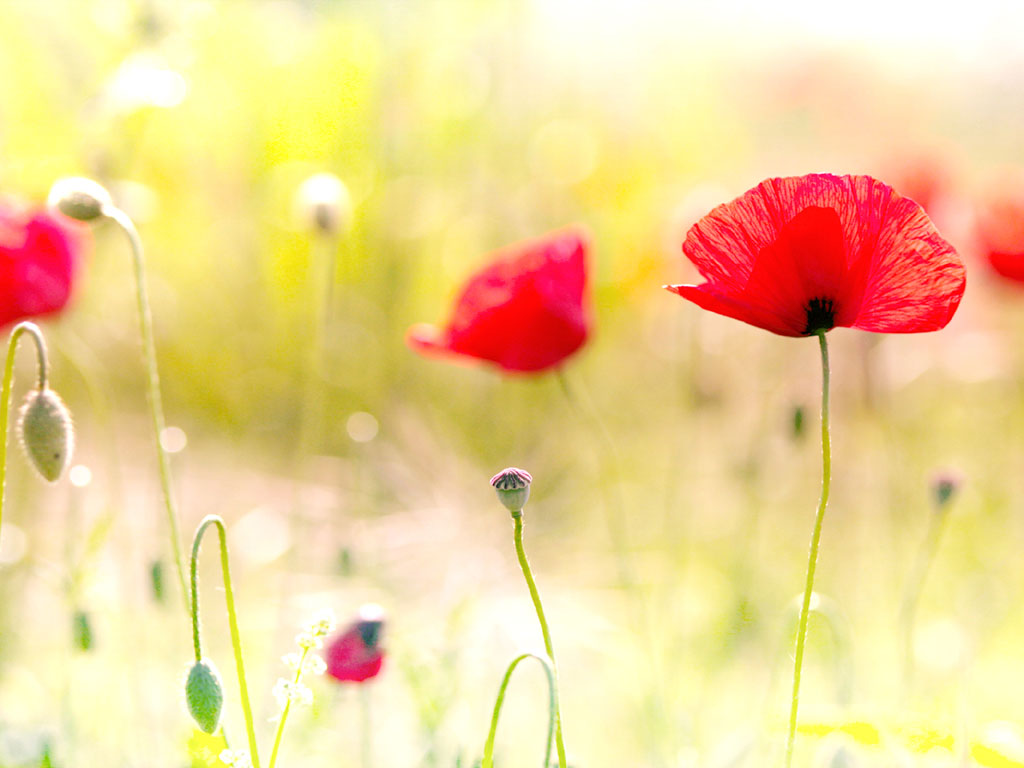 wallpaper poppy flowers desktop wallpapers