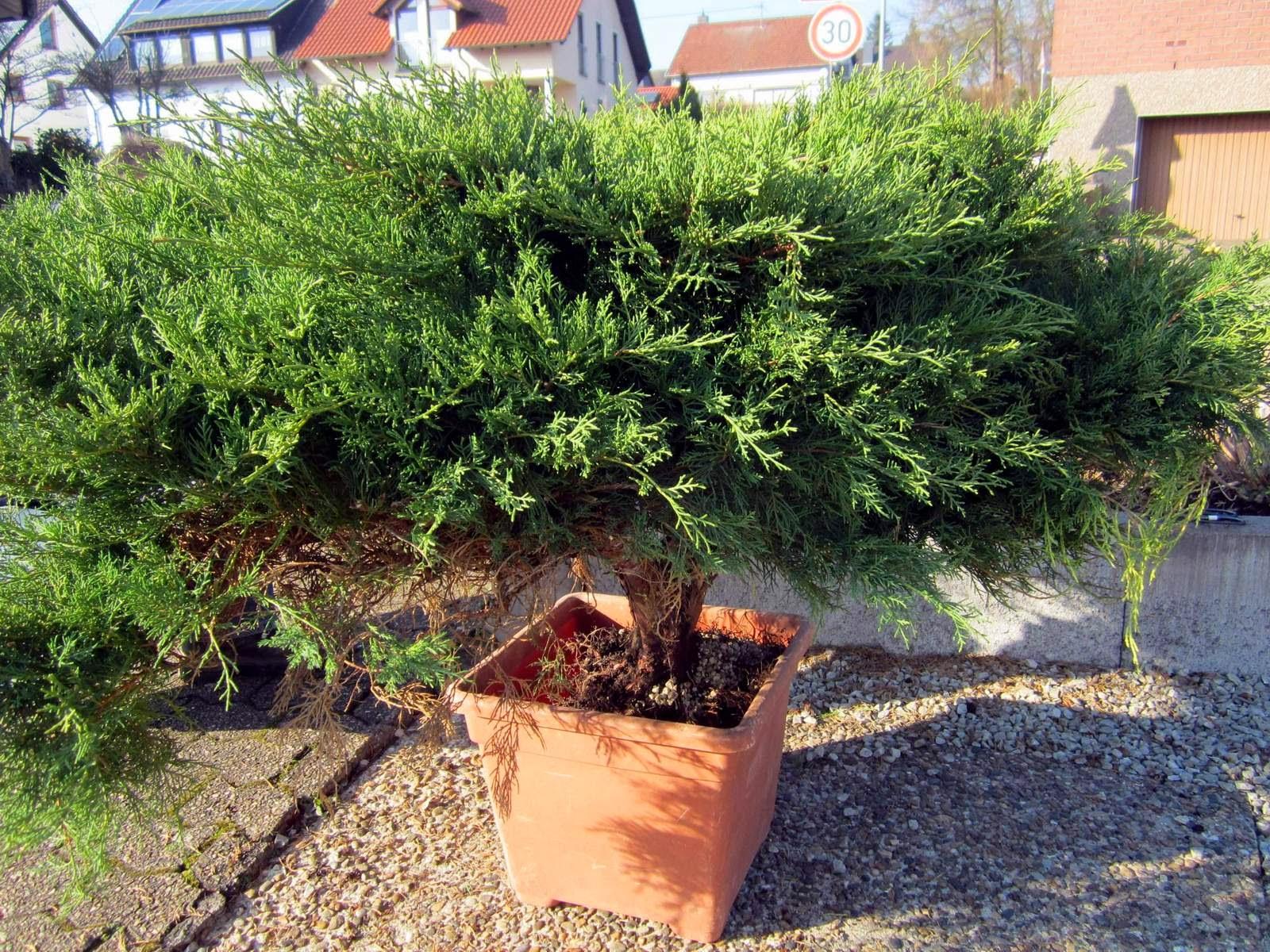 juniperus pfitzeriana pfitzer wacholder. Black Bedroom Furniture Sets. Home Design Ideas