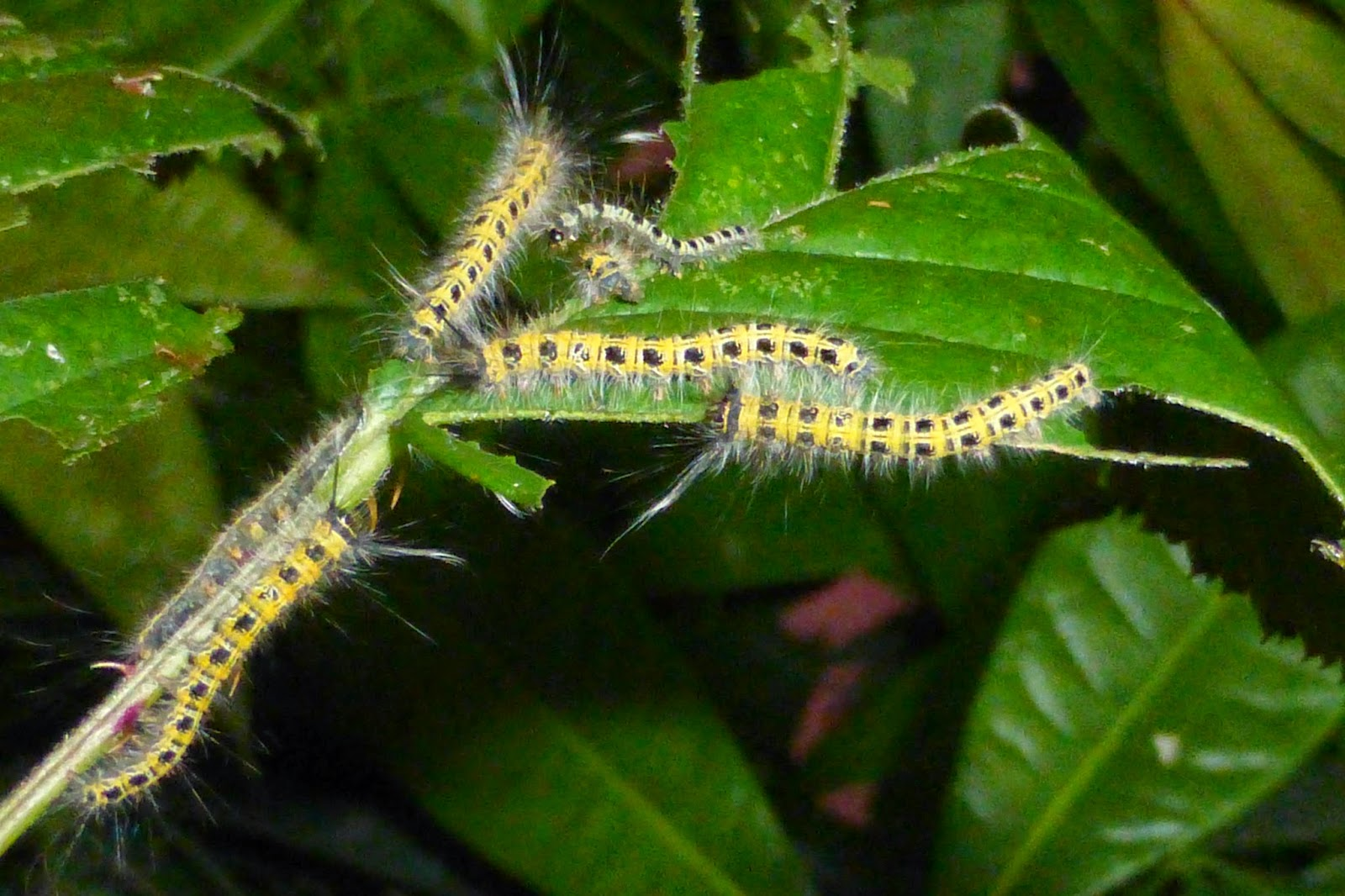 Philotherma species Malawi