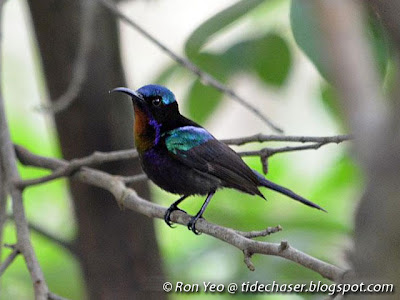 Copper-throated Sunbird (Nectarinia calcostetha)