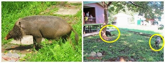 Bako National Park - Bornean Bearded Pigs - WireBliss
