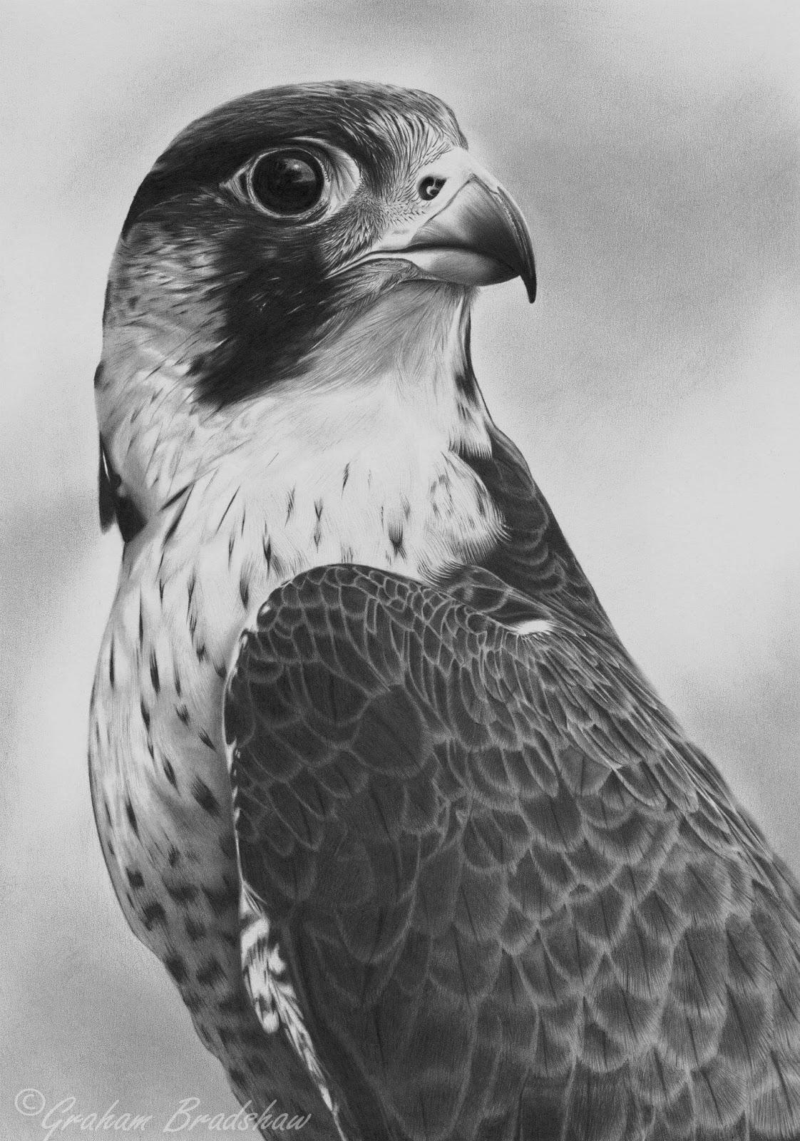 flying falcon drawing - HD1122×1600