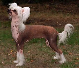 animales-raros-crestado-chino-perro-desnudo