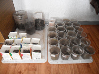 Засеянные стаканчики с рассадой