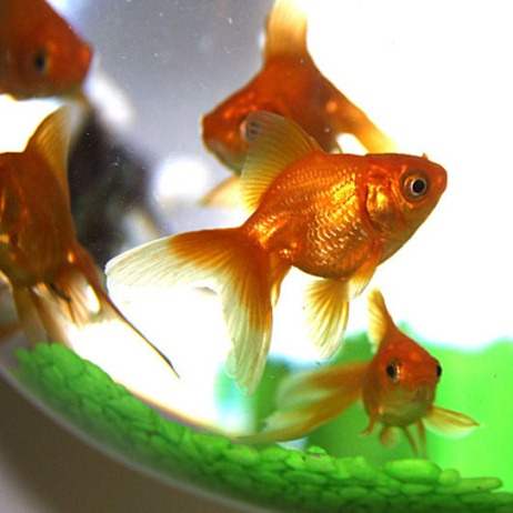 Peces en casa mala suerte o buena - Los peces traen mala suerte ...