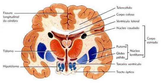 Anatomia y Fisiologia del Sistema Nervioso: Cuerpo Estriado