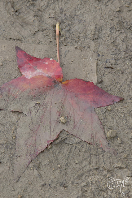 red leaf in mud