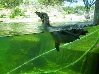 penguin swimming Marwell Zoo