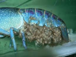 Cara Budidaya Lobster Air Tawar di Rumah