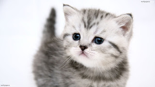 Cat Wallpapers HD