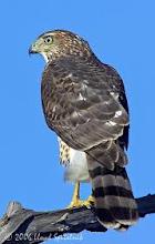 Mystery Hawk's  ID'd