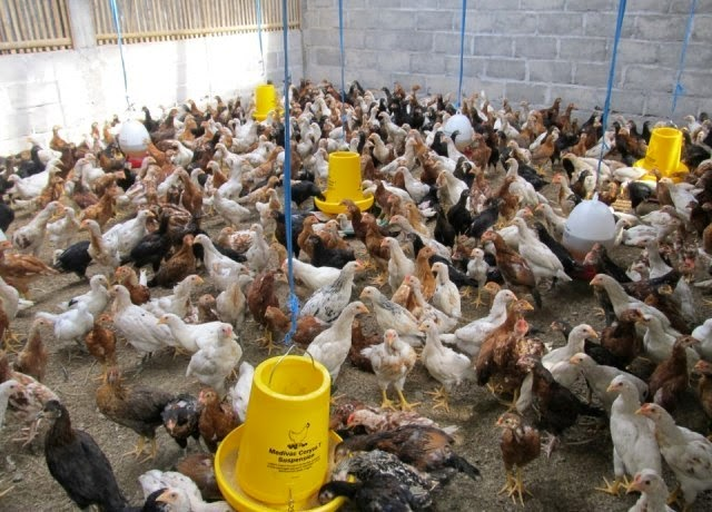 HCS Gresik SOC SOT PHEFOC Ayam Jawa Super HCS