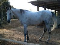 Bonic exemplar de cavall en el tancat de la dreta del camí