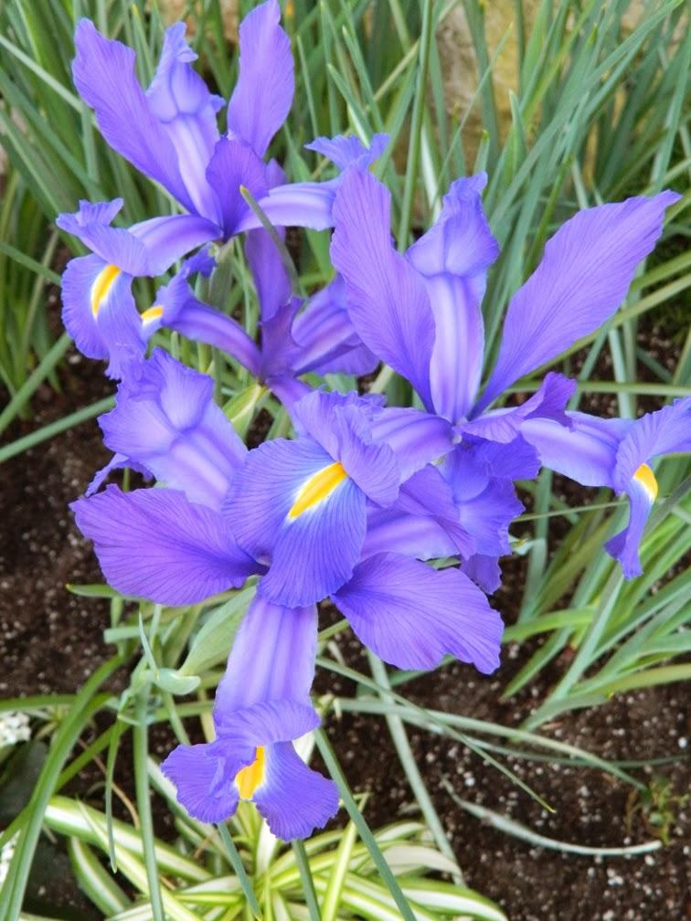 Centennial Park Conservatory Spring Flower Show 2014 Dutch Iris by garden muses-not another Toronto gardening blog