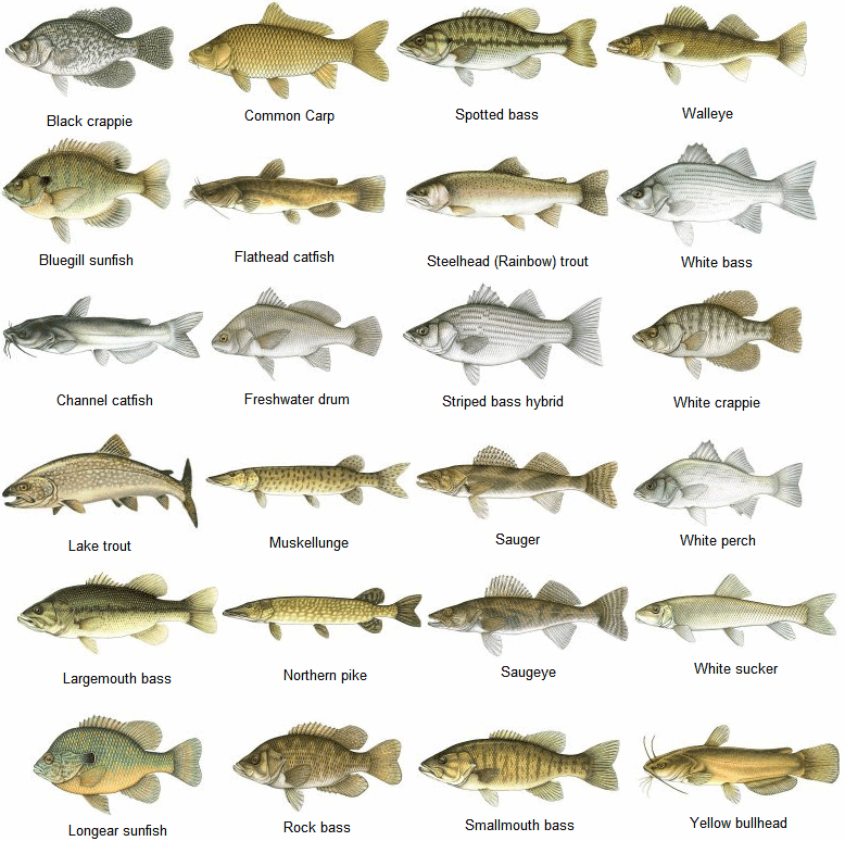 saltwater fish identifier north carolina saltwater fish