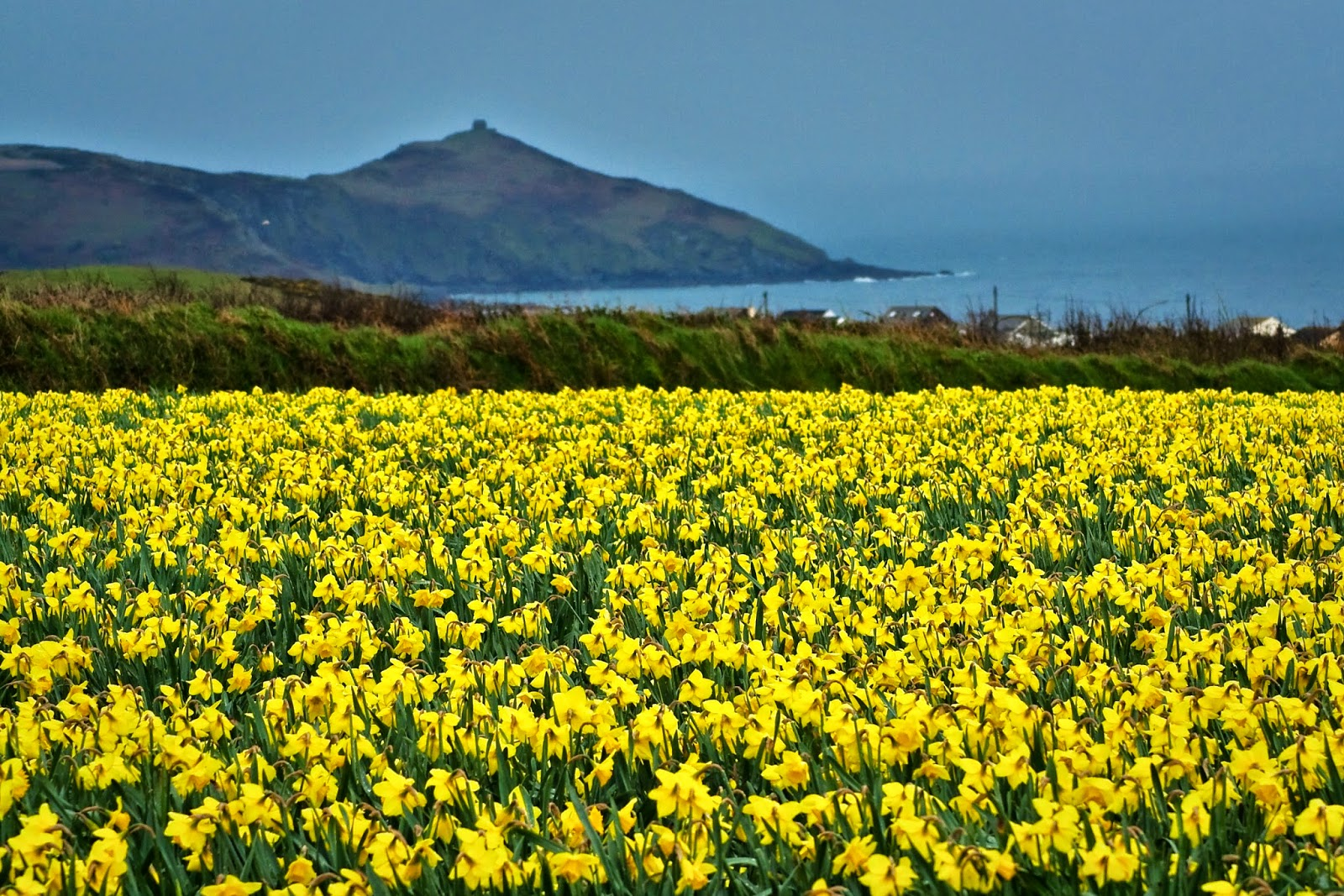 Daffodils in Cornwall