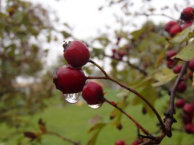 Jesienny spacer, UJ, kolory jesieni, czubajeczka cuchnąca - Lepiota cristata,  czernidłak kołpakowaty Coprinus comatus